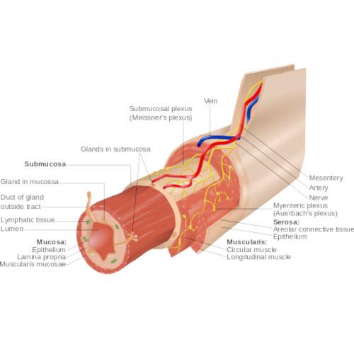 Sistema nervoso enterico