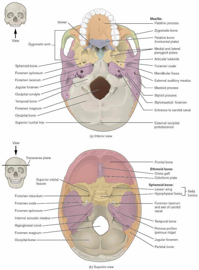 Base cranica