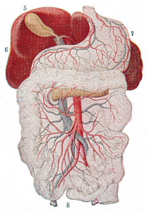 Circolazione dello stomaco
