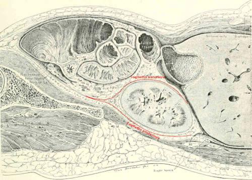 Fascia renale