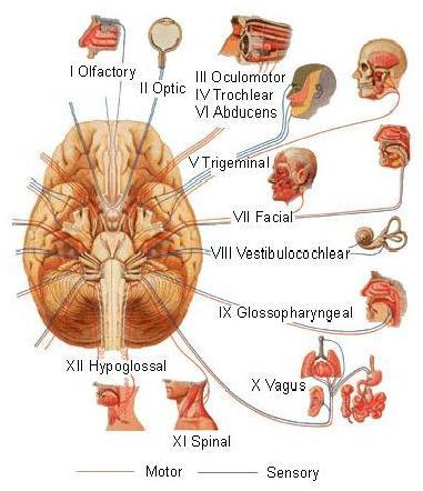 Nervi cranici