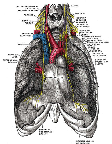 Nervo frenico