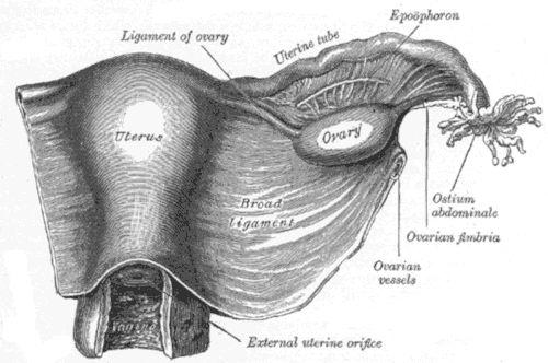 Organo genitale femminile