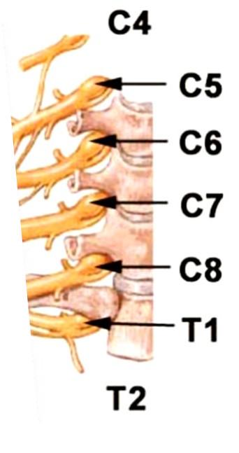 Origine del plesso brachiale