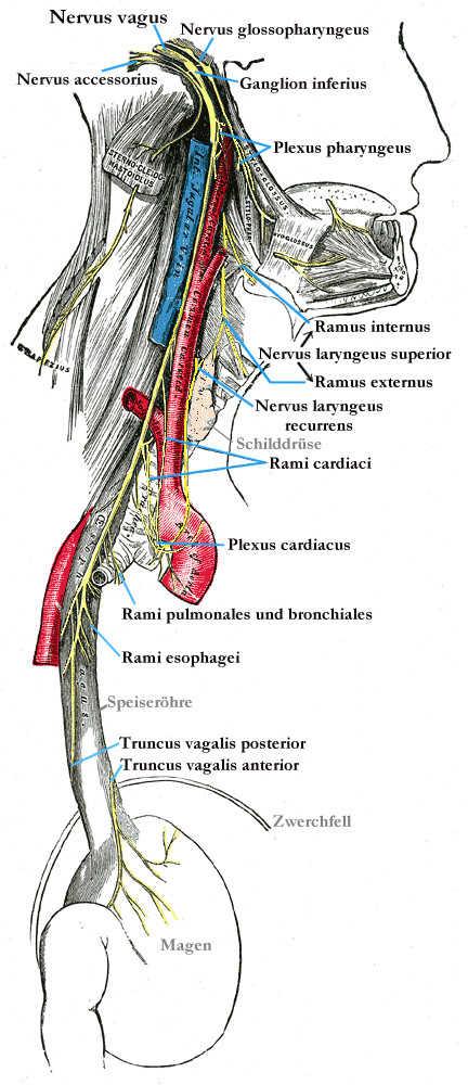 Segmento cervicale e toracico vago