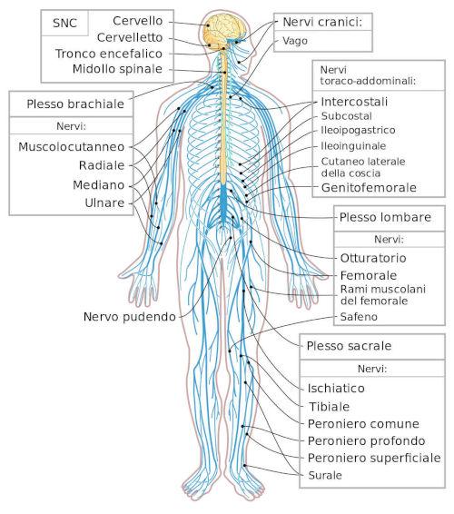 Sistema nervoso periferico (SNP)