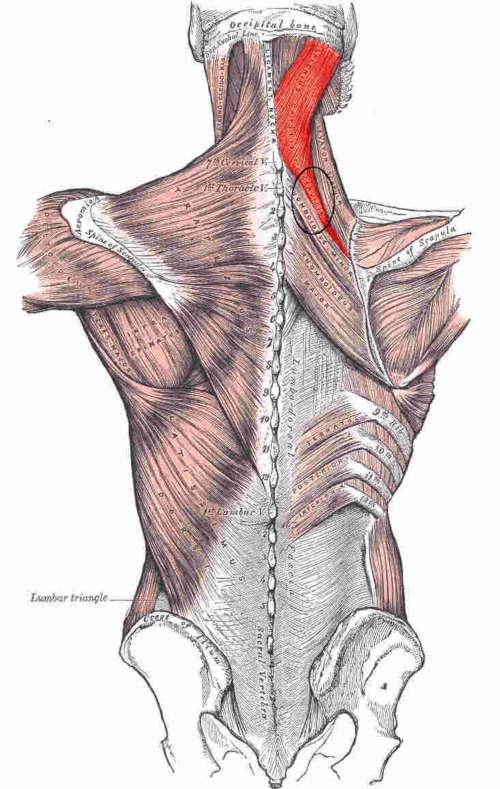 Splenio del collo