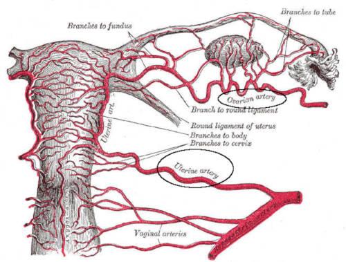 Vascolarizzazione dell'ovaio