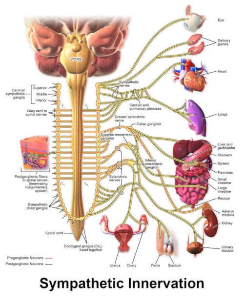 Sistema nervoso simpatico