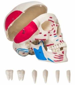 Cranio con inserzioni muscolari