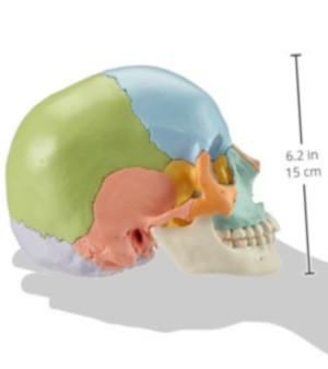 Cranio scomponibile laterale