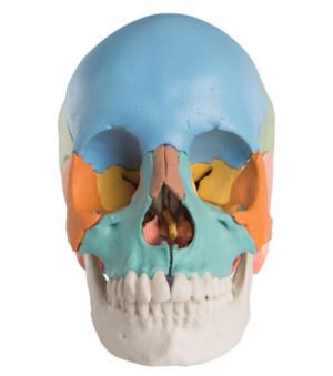 Cranio scomponibile visione frontale