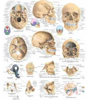 Poster anatomia cranio