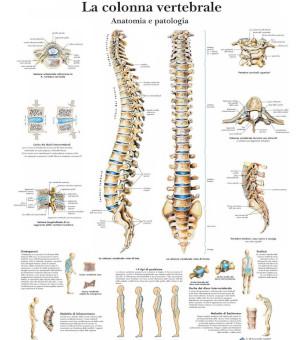 Poster colonna vertebrale