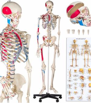 Scheletro con inserzioni muscolari