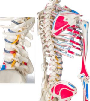 Scheletro posteriore con inserzioni muscolari