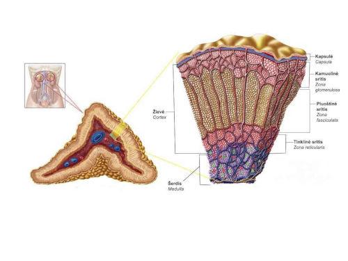 Suddivisione ghiandole surrenali