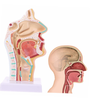 Modello anatomico apparato digerente