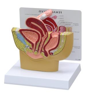 Modello anatomico apparato genitale femminile
