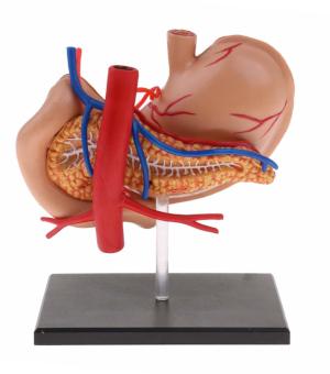 Modello anatomico stomaco posteriore