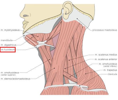 Dove si trova l'osso ioide