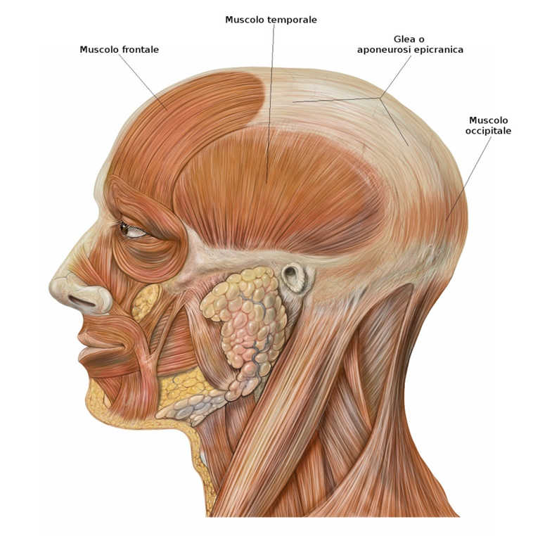 Muscoli della volta cranica