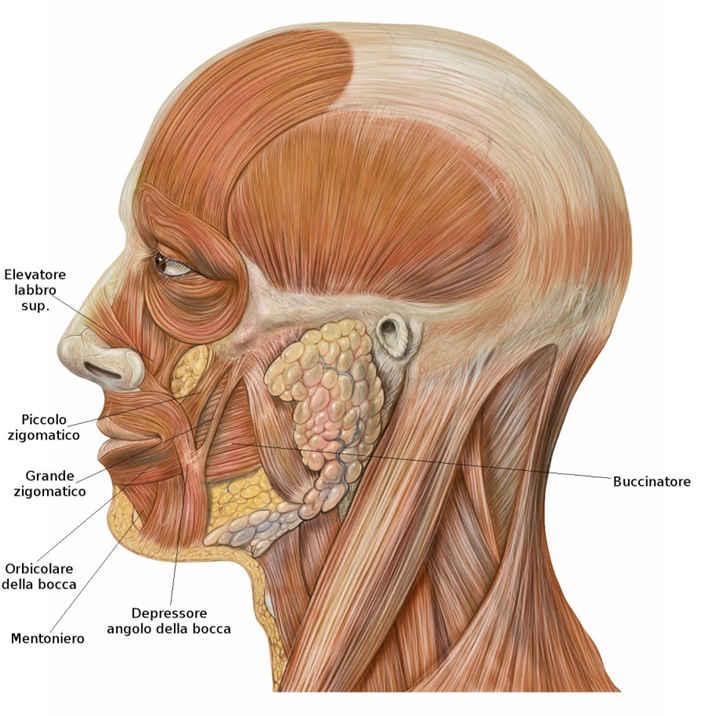 Muscoli delle labbra