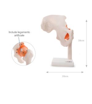 misure modello anatomico anca