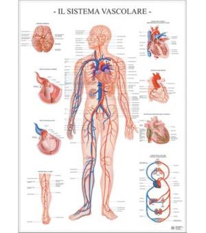 poster apparato vascolare