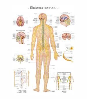 Poster sistema nervoso