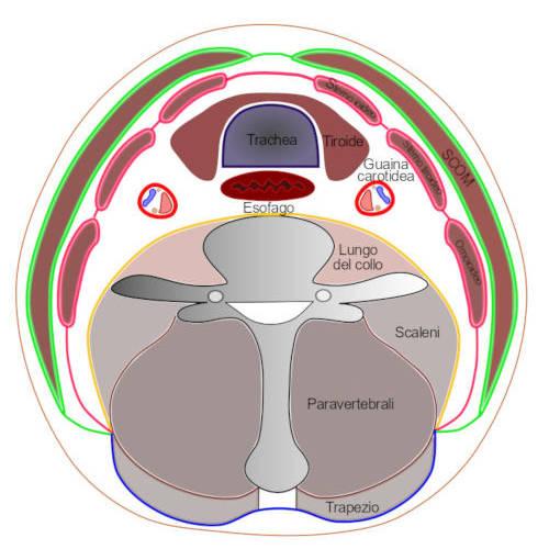 Fascia cervicale: le suddivisioni e quali strutture avvolge